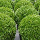 Советы тем, кто собирается выращивать самшит