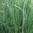 Несложные правила, которые помогут вырастить качественный душистый лук