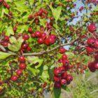 Боярышник – ботаническое описание, полезные свойства
