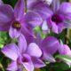 Советы по уходу за орхидеей дендробиум