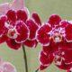 Что нужно знать цветоводу, приобретая фаленопсис