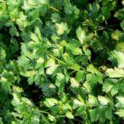 А вы знаете эти секреты выращивания листового сельдерея?