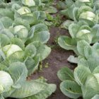 Не допускайте ошибок при уборке и хранении позднеспелой капусты