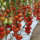 Как выбрать новые сорта и гибриды томатов для предстоящего дачного сезона?
