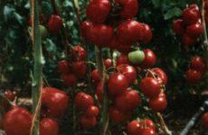 Как правильно пасынковать томаты с различным типом ветвления