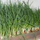 Огород на подоконнике — выгонка зеленого лука