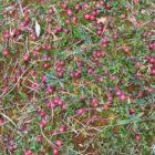 Клюква – ботаническое описание, сорта, полезные свойства
