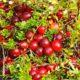 Что нужно знать для успешного выращивания клюквы?