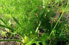 Полезные рекомендации по выращиванию фенхеля