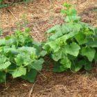 Выращивание огурцов на соломе