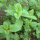 Мелисса – описание, применение, сорта, выращивание