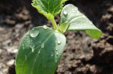 Выращивание огурцов в теплице – подготовка, посадка рассады