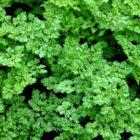Кервель – применение, биологические особенности, выращивание