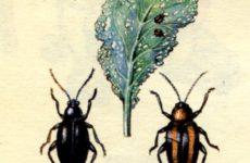 Вредители капусты и меры по борьбе с ними