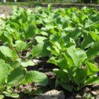 Полезные рекомендации по выращивание редьки летней