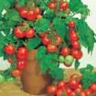 Наши ответы на вопросы читателей о выращивании томата черри на подоконнике