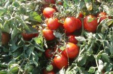 Наши ответы на вопросы читателей о выращивании томатов в открытом грунте