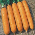 Какие сорта моркови выбрать