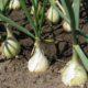 Лук репчатый – ботаническое описание, биологические особенности