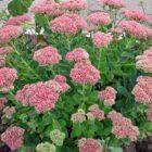 Выращиваем очиток (седум) как комнатное растение