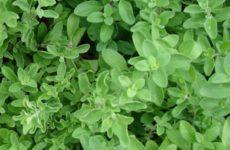 Майоран – описание, полезные свойства, выращивание