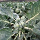Происхождение, ботаническое описание и полезные свойства брюссельской капусты