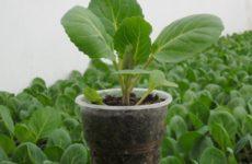 Как вырастить качественную рассаду брюссельской капусты