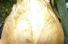 Наши ответы на вопросы читателей о выращивании лука Эксибишен