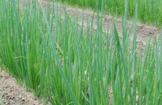 Выращивание репчатого лука из семян за один год
