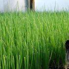 Полезные рекомендации по выращиванию лука-севка