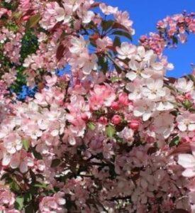 Обильное цветения яблони