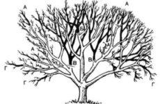 Общие правила формирования  кроны и обрезки яблонь