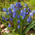 Сцилла – общая характеристика, разновидности, рекомендации по выращиванию