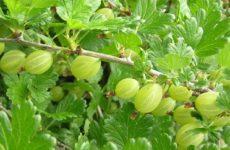 Полезные советы по выращиванию крыжовника
