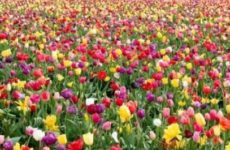 Вы уверены, что правильно ухаживаете за тюльпанами?