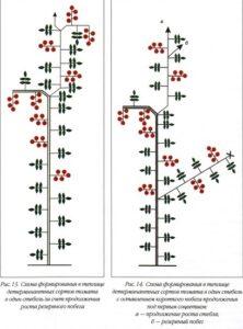 Схема формирования детерминантных сортов томатов в один стебель