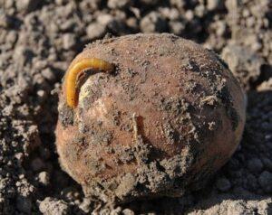 Поражение картофеля