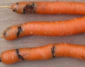Поражение моркови