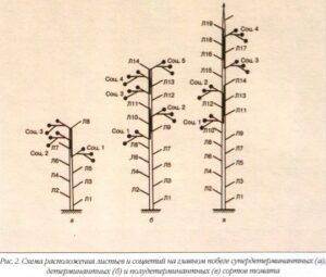 Схема расположения листьев и соцветий на различных типах томатов