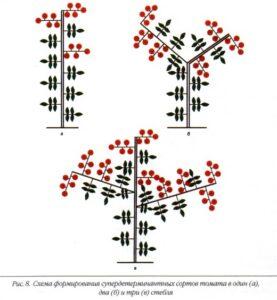 Схема формирования супердетерминантных сортов томатов