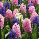 Гиацинт — цветок дождей