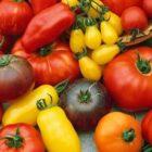 Томаты — сорта и гибриды