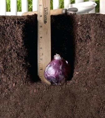 Глубина заделки луковицы