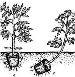 Способы посадки рассады