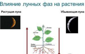 Влияние лунных фаз на растения