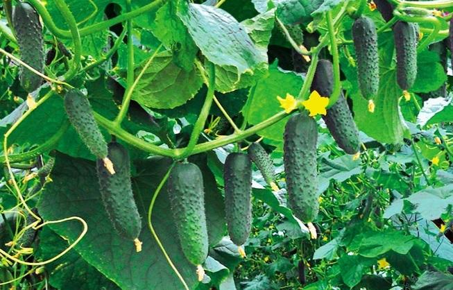 Популярные сорта огурцов для теплицы