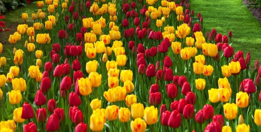 Ботаническое описание тюльпанов