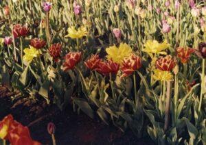 Основные этапы развития тюльпанов