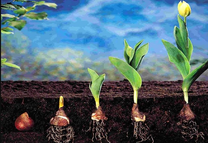Фазы развития тюльпанов