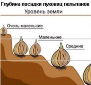 Глубина заделки луковиц тюльпанов